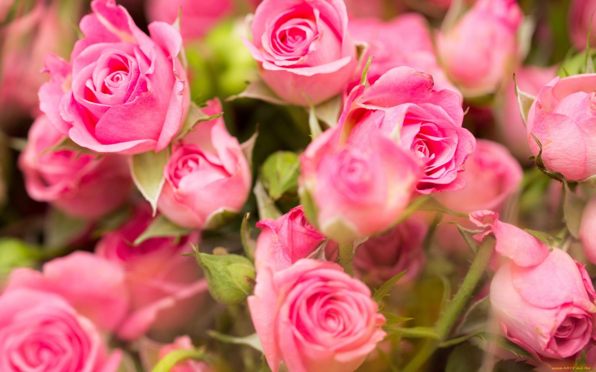 картинки цветов роз на компьютер природные